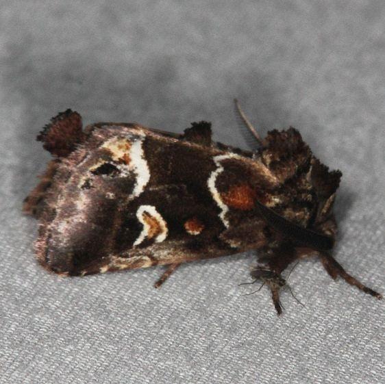 9636 Chocolate Moth Oscar Scherer St Pk 3-12-15