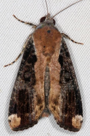 9637.1 Orbed Narrow-wing Moth Campsite 119 Falcon St Pk Texas 10-26-16_opt