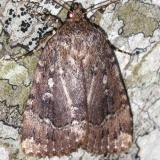 9638 Copper Underwing Leslie Angel's house Tenn 8-24-12