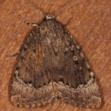 9638 Copper Underwing Moth from dead Maple tree cavity in yard 9-9-14 (2)_opt