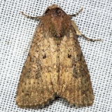 9639 Mouse Moth yard 9-2-12