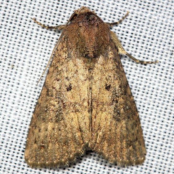 9639 Mouse Moth yard 9-2-12
