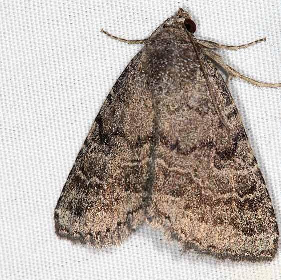 9650 Slowpoke Moth Campsite 119 Falcon St Pk Texas 10-26-16_opt