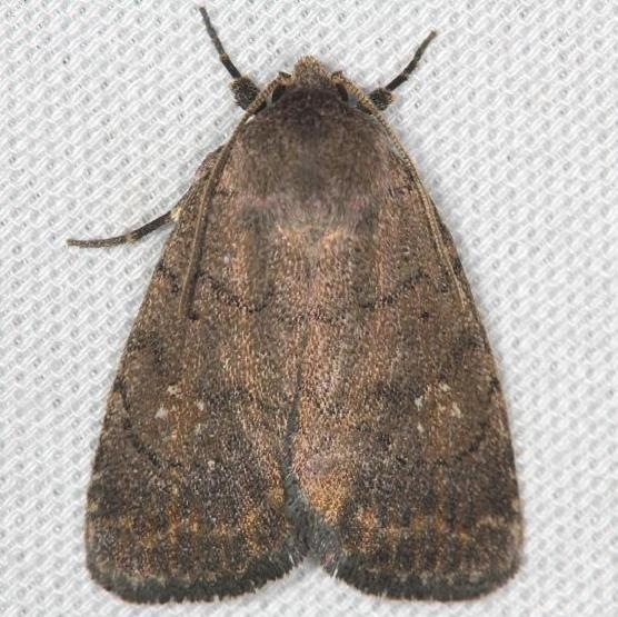 9650 The Slowpoke Moth yard 5-5-13