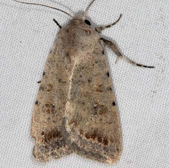 9654 Rare Sand Quaker Moth White House Campground Grand Staircase Escalante Utah 5-26-17 (7)_opt