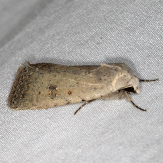 9654 rare Sand Moth Devil's Canyon Campground National Forest Utah 6-7-17 (48)_opt