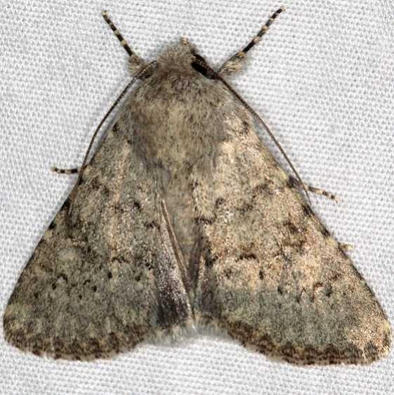 9657 Speckled Rustic Moth Moab RV Resort Moab Utah 6-5-17 (16)_opt