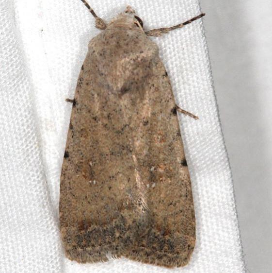 9660.1 Pale Mottled Willow Moth Moab RV Resort Moab Utah 6-4-17 (13)_opt