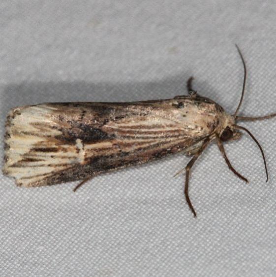 9661 Verbena Moth yard BG 6-30-16 (15a)_opt