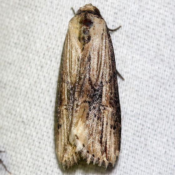 9661 Verbena Moth yard 6-20-12
