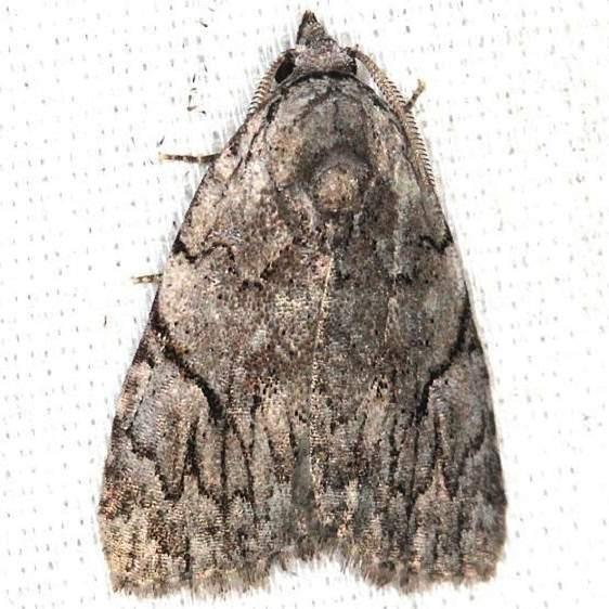 9662 Many-spotted Appleworm Moth yard 7-30-13