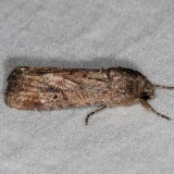 9666 Fall Armyworm Moth female yard 7-16-14