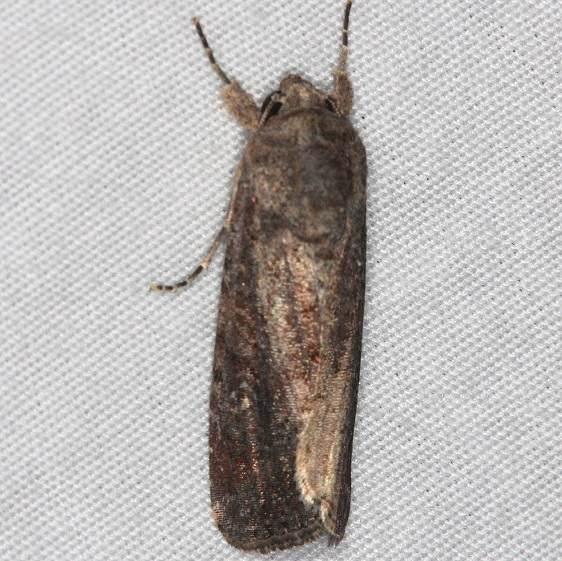 9666 Fall Armyworm Moth female yard 7-16-14