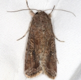 9666 Fall Armyworm Moth yard 10-8-15