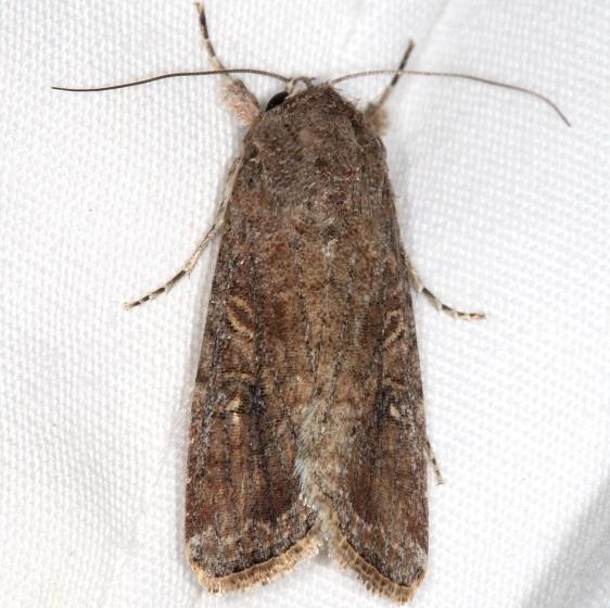 9666 Fall Armyworm Moth yard 10-8-15