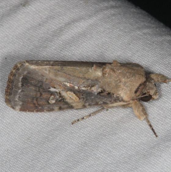 9666 Fall Armyworm Moth yard 7-14-15