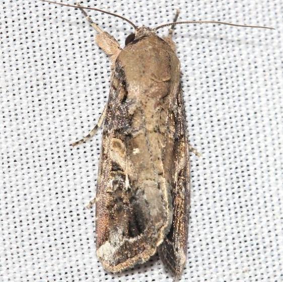 9666 Fall Armyworm male yard 9-3-12