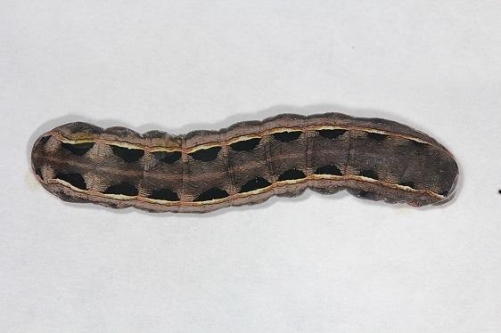 9669 Yellow-striped Armyworm caterpillar yard 9-18-14