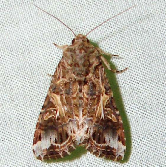 9669 Yellow-stripped Armyworm Moth yard 8-5-11_opt
