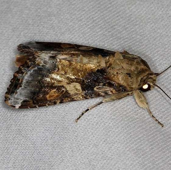 9670 Velvet Armyworm Moth NABA Gardens Texas 11-3-13