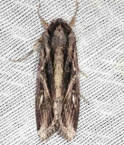 9671 Doliches Armyworm Moth Long Pine Key Everglades 2-24-14