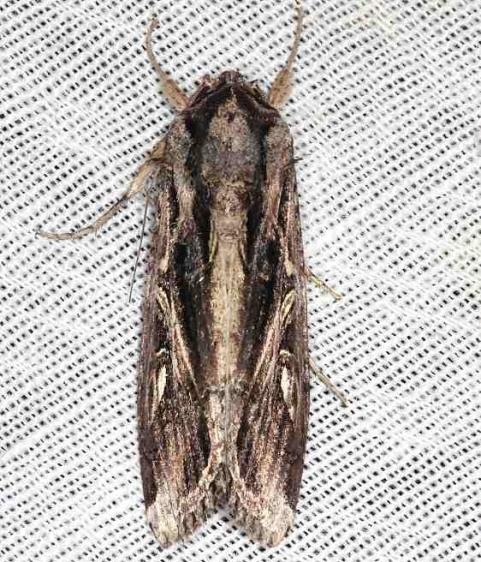 9671 Doliches Armyworm Moth Long Pine Key Everglades 2-24-14
