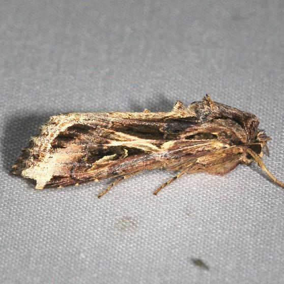 9671 Dolichos Armyworm Moth Hidden Lake Everglades Natl Pk 3-9-13
