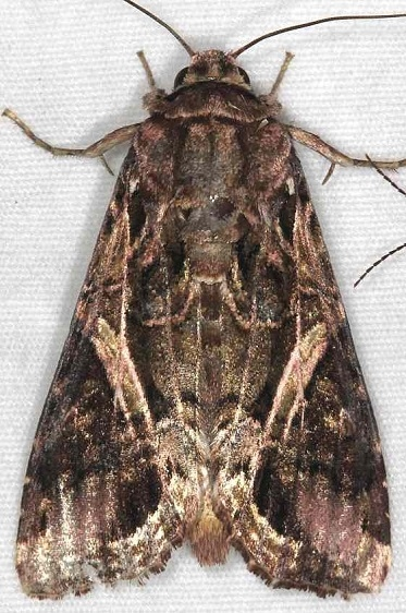 9671.1 Spodoptera androgea Little Manetee River St Pka 3-10-15 (101)_opt