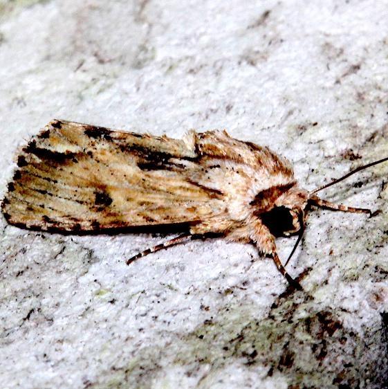 9672 Southern Armyworm Moth Mahogany Hammock Everglades Natl Pk 3-10-13