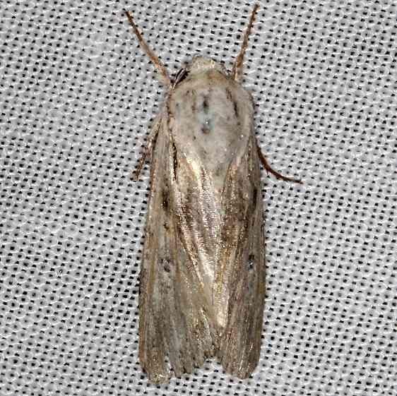 9673 Spodoptera albula NABA Gardens Texas 11-3-13_opt