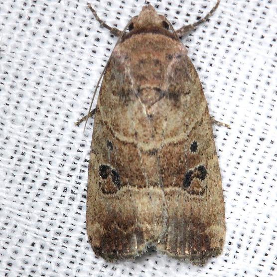9675 Elaphria fuscimacula Kissimmee Prairie St Pk 3-12-13