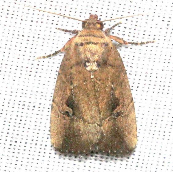 9676 Sugarcane Midget Moth Mahogany Hammock Everglades Natl Pk 3-10-13