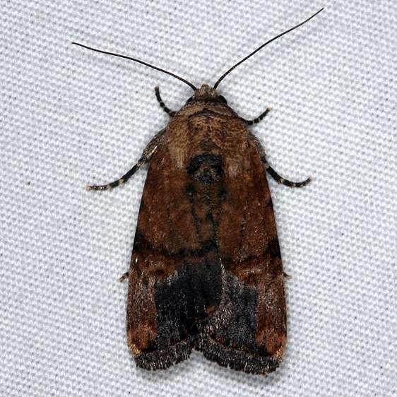 9677 Elaphira agrotina Collier-Seminole St Pk 3-5-15