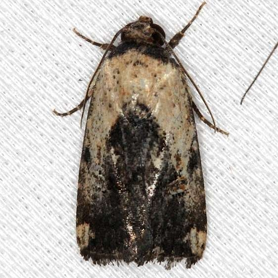9677 Elaphira agrotina NABA Gardens Texas 11-3-13