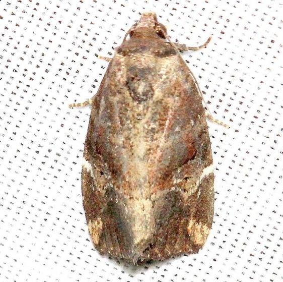 9678 Variegated Midget Moth Lake Kissimmee St Pk 3-1-13