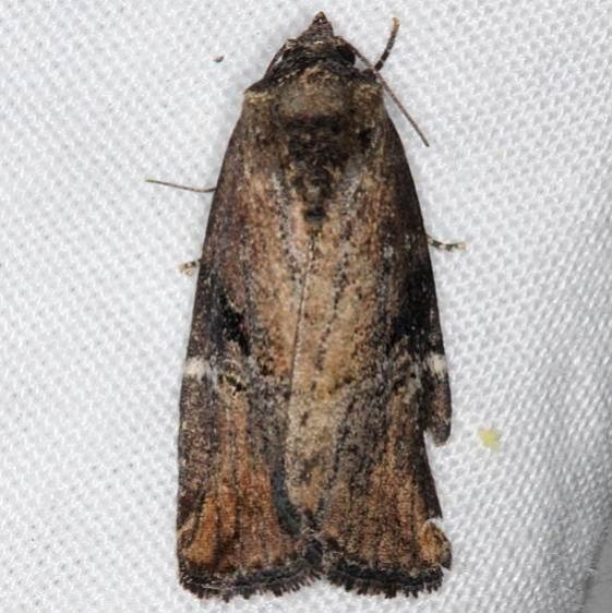 9678 Variegated Midget Moth yard 5-24-14 (11)_opt