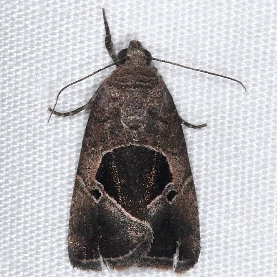9679.1 Elaphira deltoides Mahogany Hammock Everglades 3-1-15