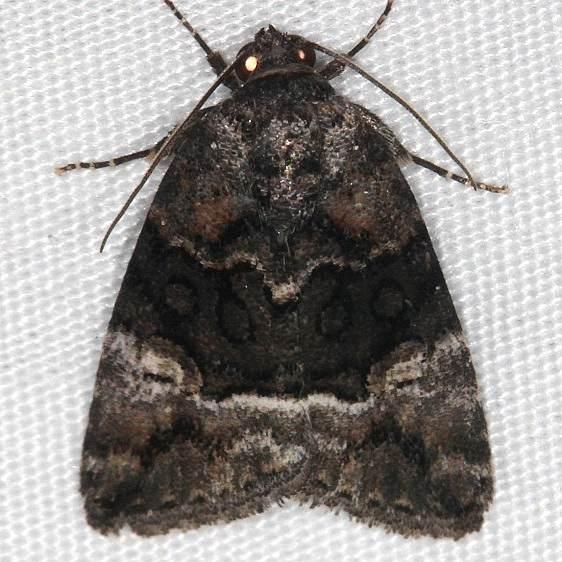 9680 George's Midget Moth Cumberland Falls St Pk Ky 4-22-14