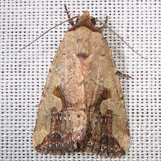 9681 Festive Midget Moth Juniper Springs Ocala Natl 3-14-12