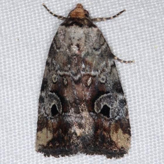 9681.1 Pale-winged Midget Moth yard 6-1-14