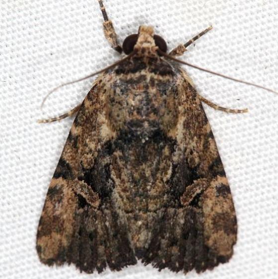9682 Exesa Midget Moth Campsite 119 Falcon St Pk Texas 10-26-16_opt