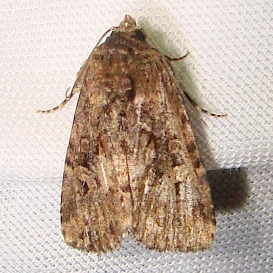 9682 Exesa Midget Moth worn Grasshopper Lake Ocala Natl 3-15-12
