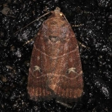 9684 Grateful Midget Moth Burr Oak St Pk 6-28-14