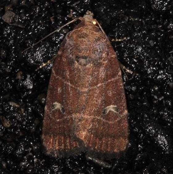 9684 Grateful Midget Moth Burr Oak St Pk 6-28-14