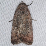 9684 Grateful Midget Moth yard 10-6-15 (2)_opt