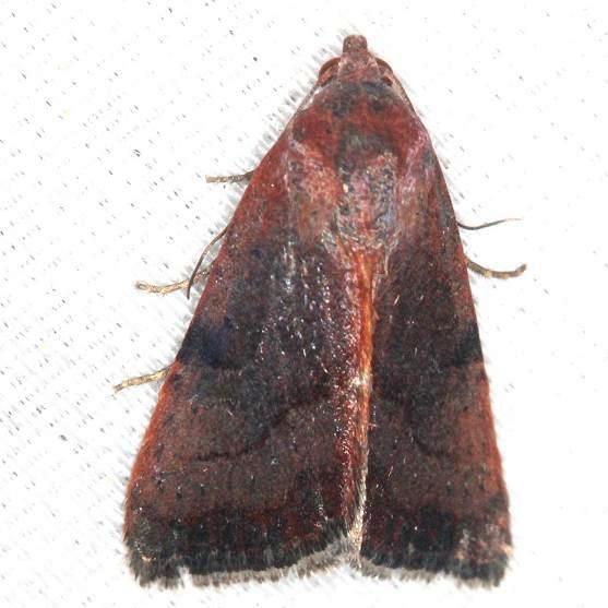 9688 The Wedgling Moth female yard 5-29-13