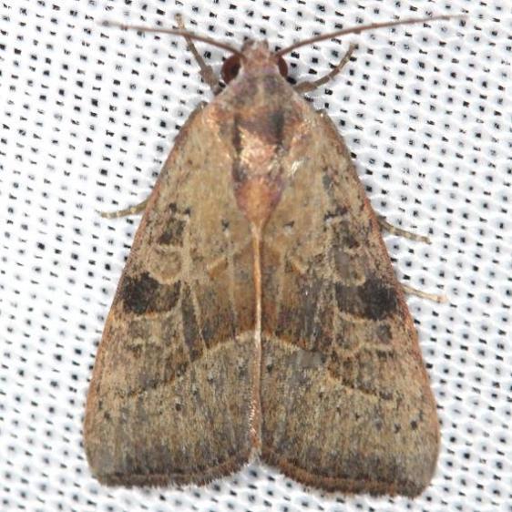 9688 The Wedgling Moth male yard 5-29-13