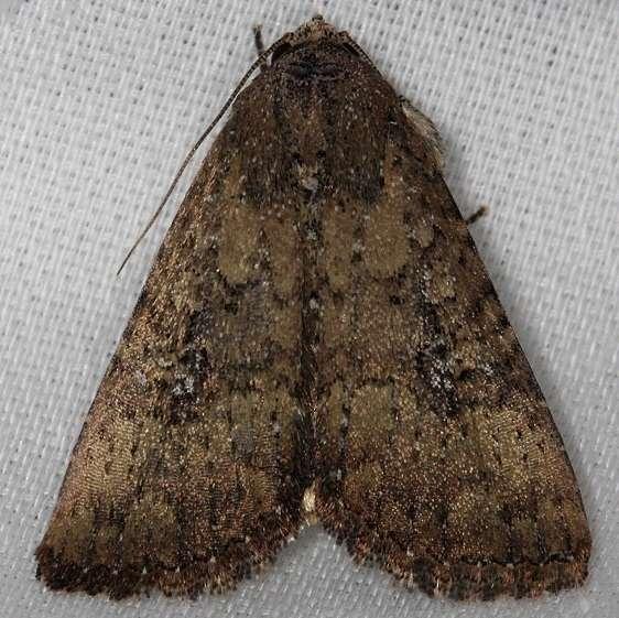 9693 Mobile Groundling Moth Hidden Lake Everglades 2-18-14