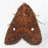 9693 Mobile Groundling Moth Little Manetee River St Pk 3-9-15