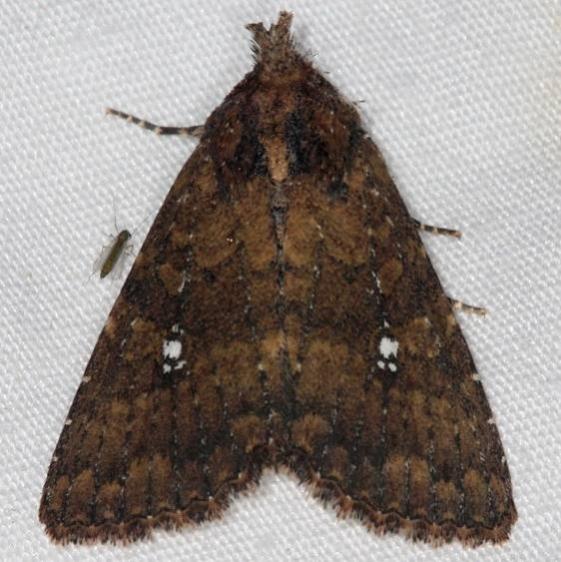 9693 Mobile Groundling Moth Quarry Lake Everglades 2-28-15